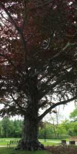 Sachem Rock Farm Red Maple Tree